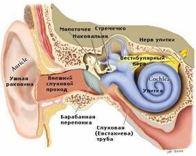 Внутреннее ухо, так называемая улитка, имеет форму раковины улитки и заполнено жидкостью.