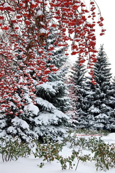 Ветка рябины Перемешала цвета, Три время года.  Красный, жёлтый и белый, Лета, осени, зимы.