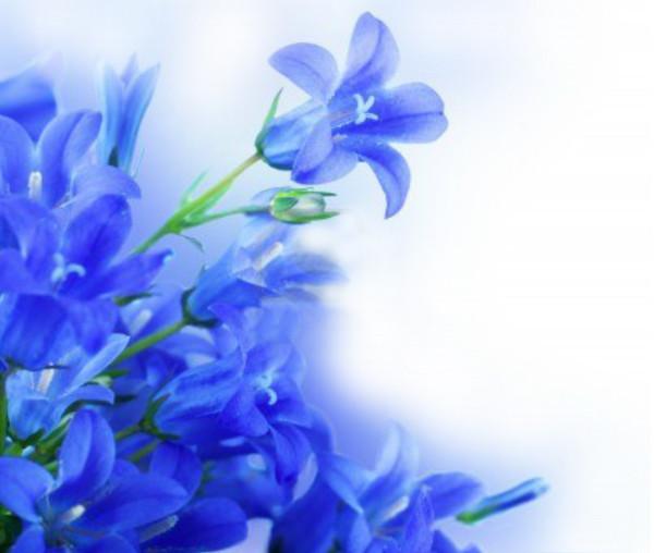 Синие цветы на белом фоне или белые