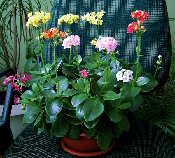 Каланхое как добиться цветения и пышности