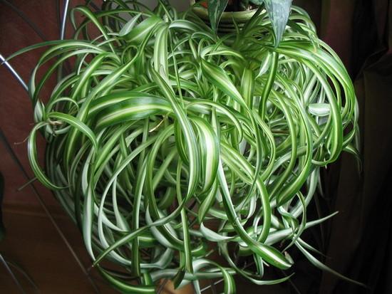 Комнатное растение хлорофитум хохлатый: фото видов, уход в ...