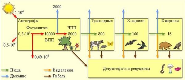 В схемах пищевых цепей каждый организм представлен питающимся организмами какого-то определённого типа.