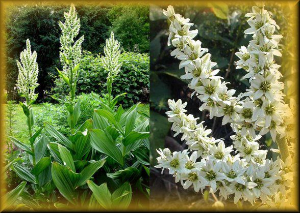 Трава кукольник Травянистые растения фото - названия белых трав