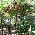 Вверху виноград, внизу помидоры, огурцы и т.п. Сомневающимся в шатровой формировке: посмотрите, сколько солнца внизу.